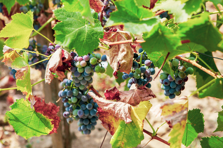 Ecologically clean grapes for the production of high quality wine.