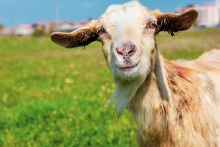 Jeune chèvre au printemps. Banque d'images