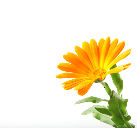 Marigold - Calendula Officinalis Isolated On White