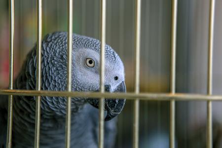 Gray Parrot Jaco