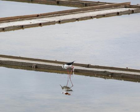 Black-Winged Stilt Wading In Water
