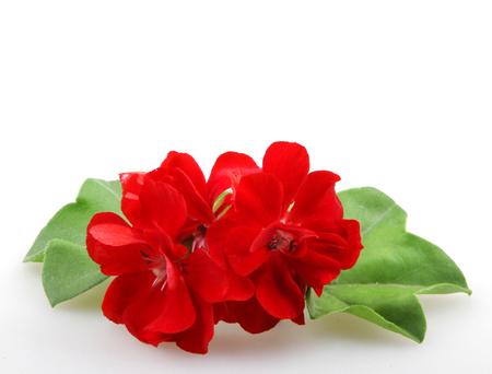 Geranium Pelargonium Flowers.