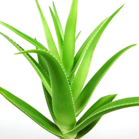 Aloe vera plant isolated on white. Stock Photo