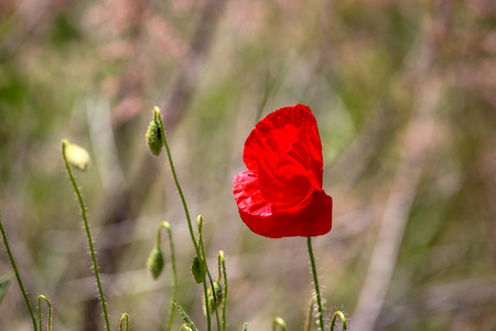A Poppy Is A Flowering Plant In The Subfamily Papaveroideae Of The Family Papaveraceae.