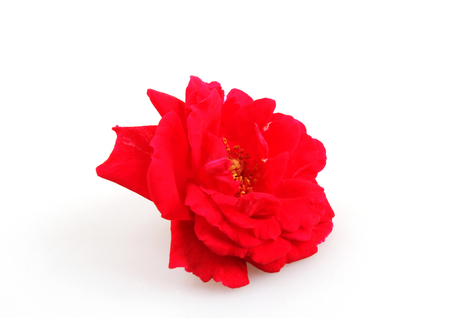 Blooming Red Rose Isolated On White