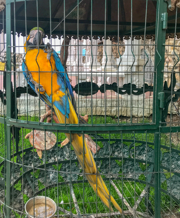 Ara Ararauna - Blue And Yellow Macaw.