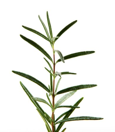Fresh Rosemary Herb On White Background