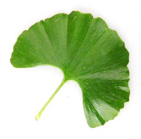 Green Ginkgo Biloba Isolated On White Background Stock Photo