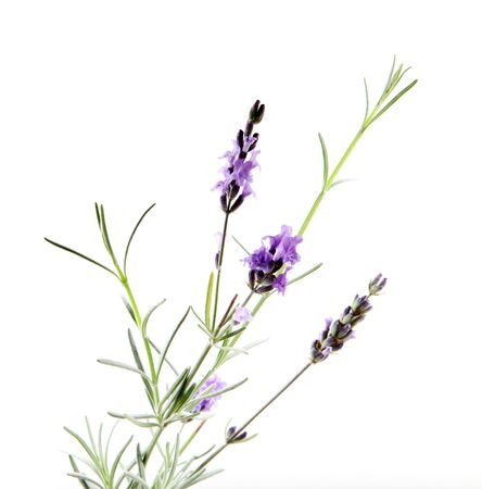 Close-Up Of Lavender Flower Against White Background Imagens