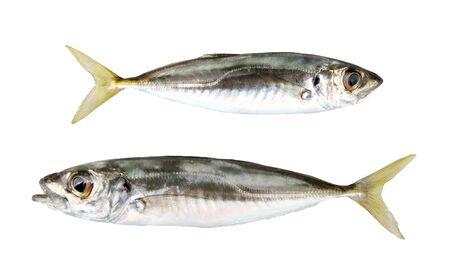 Close-Up Of Atlantic Horse Mackerel Fish Isolated On White Background