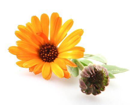Beautiful blossoming yellow marigold isolated on white background. Calendula officinalis. Banco de Imagens