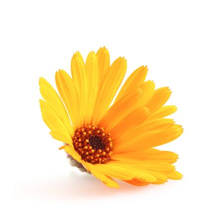 Beautiful Blossoming Yellow Marigold On White Background. Calendula Officinalis Banco de Imagens