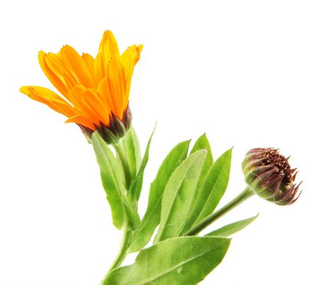 Beautiful Blossoming Yellow Marigold On White Background. Calendula Officinalis. Banco de Imagens