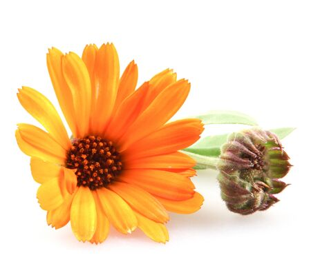 Beautiful blossoming yellow marigold isolated on white background. Calendula officinalis.