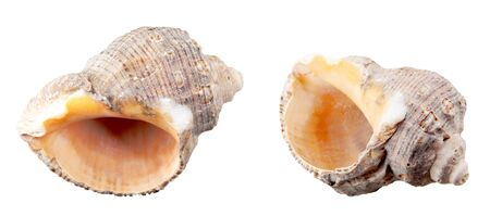 Close-Up Of Seashell Against White Background