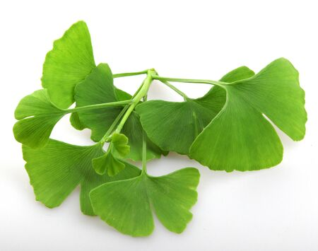 Leafs of Ginkgo biloba isolated on white background. Ginkgo biloba, commonly known as ginkgo or gingko, also known as the maidenhair tree, is the only living species in the division Ginkgophyta