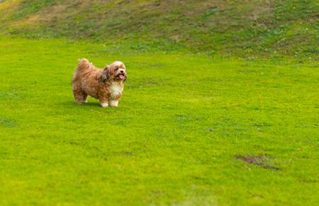 Shih Tzu dog is running happily in the garden. Shih Tzu dog.