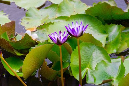 Beautiful blooming lotus flower purple. Lotus flower in pond. Imagens