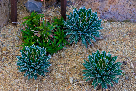 Aloe Somaliensis and Aloe Quicksilver. tropical green plants tolerate hot weather. Imagens