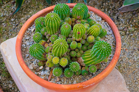 Top view of small Echinopsis cactus in pot. Baby Echinopsis.