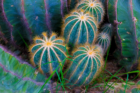 Tower cactus (Eriocactus leninghausii).