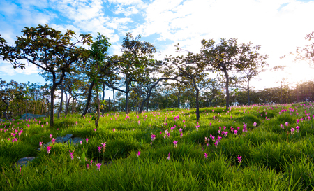 The landscape natural pink Siam Tulips Dok Krajiao, Chaiyaphum province, Thailand