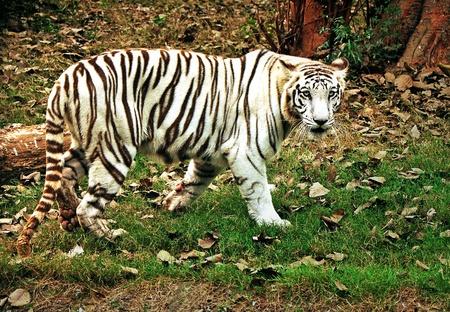 The white tiger photo