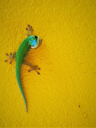 This image shows an endemic green Gecko from La Reunion island Stock Photo