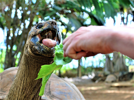 feeding a turtle in vanilla nature park mauritius island