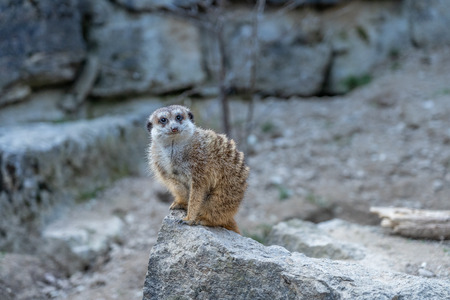 a Meerkat sentinel (Suricatta suricata) on rocks in Opel zoo, Königstein im Taunus