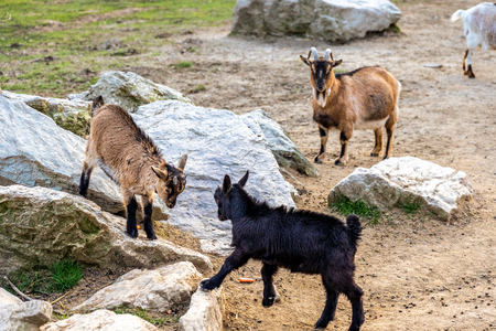 two goats fighting on rocks in Opel zoo, Königstein im Taunus