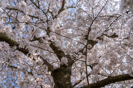 Cherry blossom in springtime in Frankfurt, Hesse, Germany, Europe 免版税图像 - 121264200