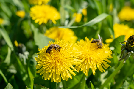 bees on dandelion flowers in springtime, frankfurt, germany