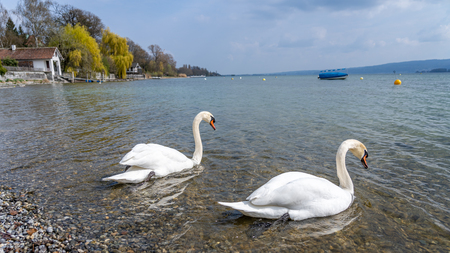 White swan in water scene, frankfurt, hesse, germany