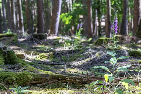 flowering foxglove in the taunus forest near Frankfurt, germany