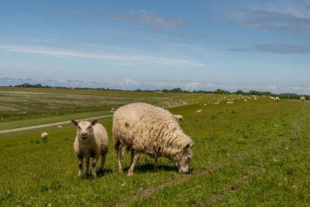 sheep resting and grazing grass on the dike at the north sea Stockfoto