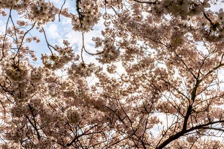 Cherry blossom in springtime in Frankfurt, Hesse, Germany, Europe