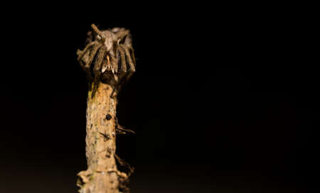 wolf spider sitting on a wood stick in spring time, hessen, germany Stockfoto