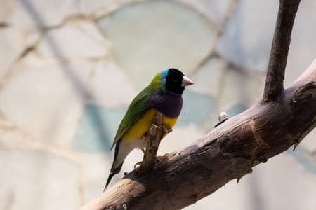 closeup of a gouldian finch looking at the camera