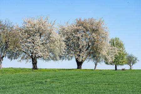 flowering apple trees during apple blossom in spring, frankfurt, germany