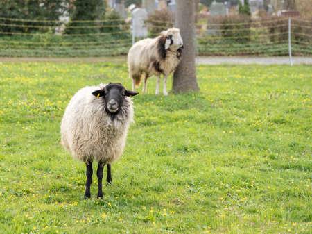some sheep on green meadow in springtime, frankfurt Banco de Imagens