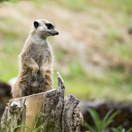 meerkat watching out for predators on a tree stump in a zoo, germany