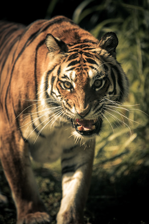 Portrait of a young feminine tiger getting angry