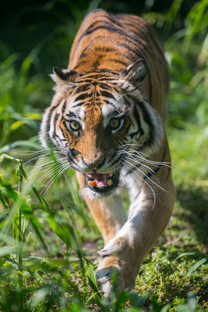 Anxious tiger is preparing to launch an attack Stock Photo