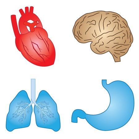 human body parts: Set of cartoon images of human organs on the white background.