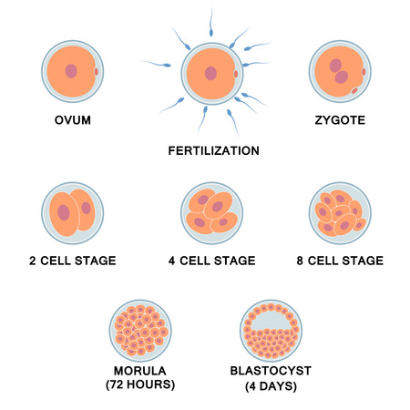 sperm: Development of the human embryo. Images of stages from ovum to blastocyst.