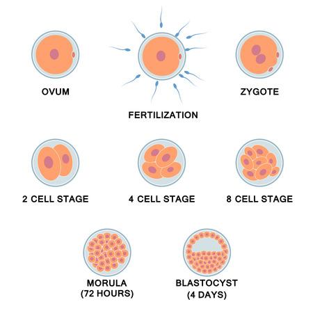 membrana cellulare: Sviluppo dell'embrione umano. Immagini di fasi, dalla ovulo di blastocisti. Vettoriali
