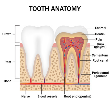 labeling: illustration of anatomy of teeth with labeling Illustration