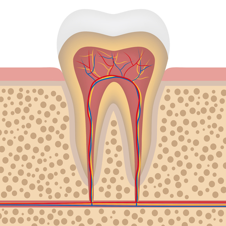 clean artery: Healthy white tooth, gums and bone illustration, detailed anatomy
