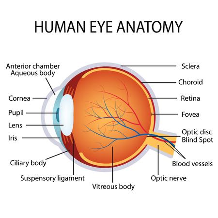 Ilustración de la anatomía ojo humano en el fondo blanco.